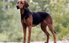 Schiller Stovare, carattere e prezzo - Razze cani