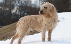 Segugio della Stiria a pelo ruvido - Razze cani