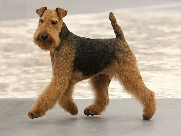 Welsh Terrier: origins, physical characteristics and personality