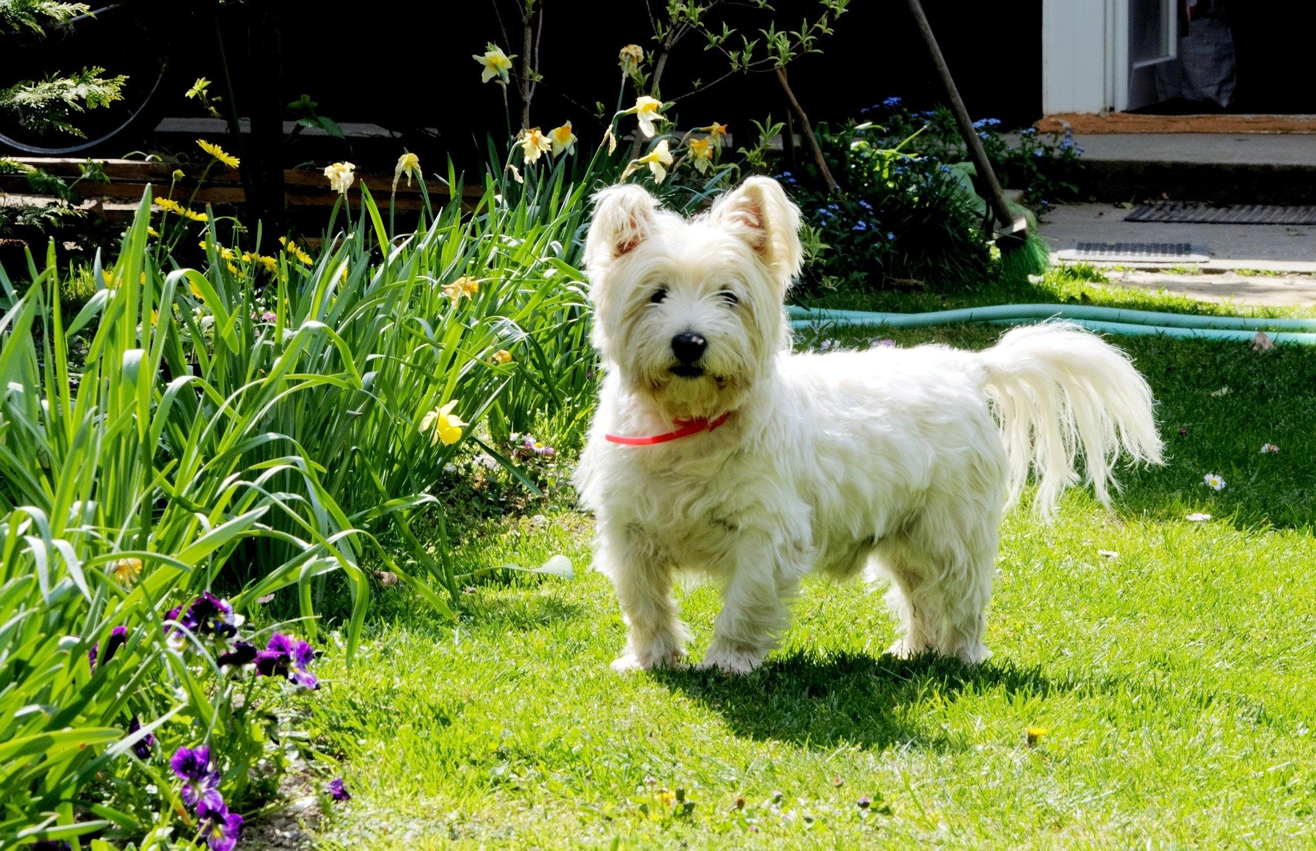 West Highland White Terrier: origins, characteristics and personality