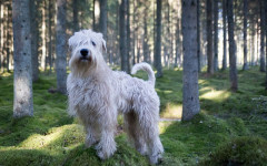 Soft Coated Wheaten Terrier, origin and physical characteristics