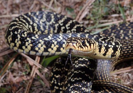 Serpente Biacco: Habitat e caratteristiche