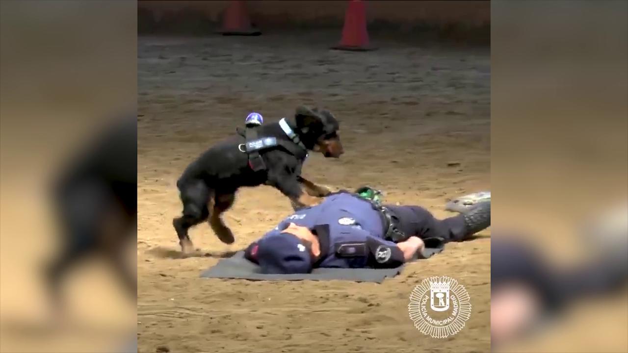 Cane poliziotto fa massaggio cardiaco: Poncho è una star