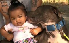 Pitbull salva famiglia da un incendio: Sasha cane eroe