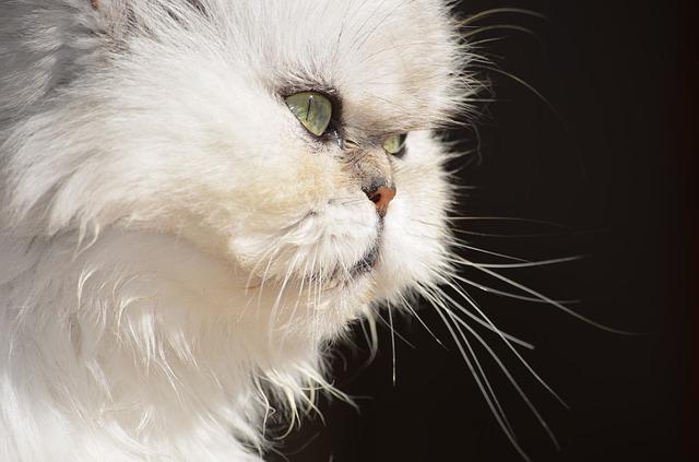 Gato persa blanco: un amigo especial dulce y gracioso