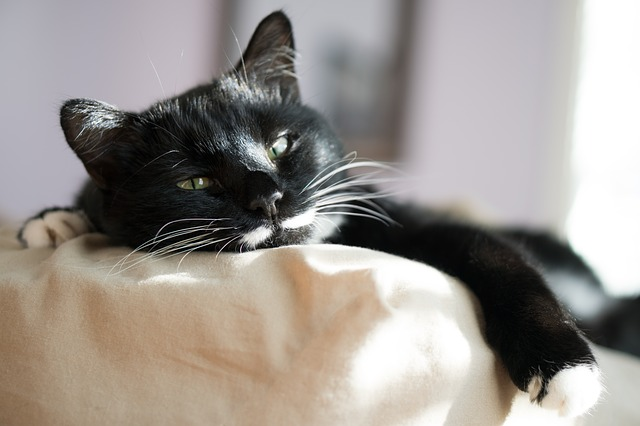 Cytauzoonosis felina, come diagnosticarla e come trattarla