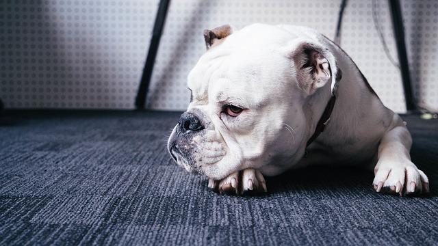 Cimurro nel cane: che cos'è, sintomi e cure