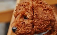 Acquisto cani online: attenzione a salute e truffe