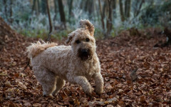 Irish Terrier: Origins, Physical Characteristics, and Personality