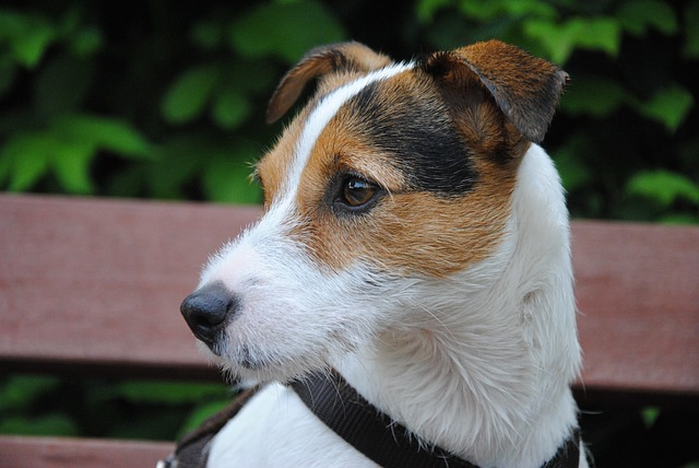 Parson Russell Terrier: origins and characteristics
