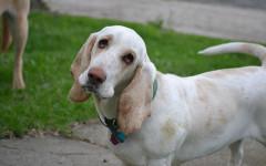 Fobie dei cani: cosa fare quando un cane è vittima di una fobia?