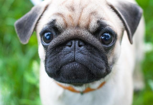 Educare il cane a non chiedere cibo a tavola: come fare?