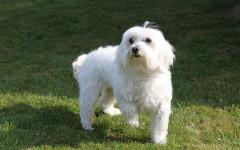 Perro peluche: las razas de perro más peluches de todas
