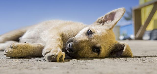 Miosite dei muscoli masticatori del cane: sintomi e fasi