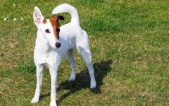 Smooth Fox Terrier: origins, characteristics and personality