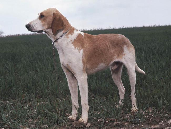 Francais Blanc e Orange, carattere e prezzo - Razze cani
