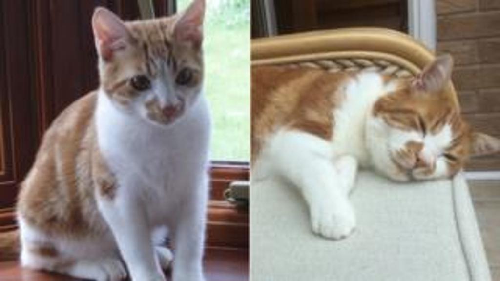 Gatto ritrovato dopo 10 anni: la storia del felino Harry