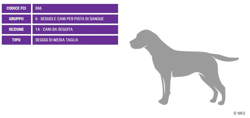 Griffon Fauve de Bretagne, carattere e prezzo - Razze cani