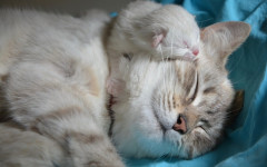 Gatti maschi attaccano i cuccioli: perché lo fanno?