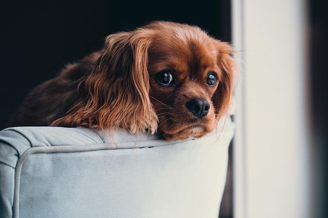 Perro casa: un compañero para muchos del hogar