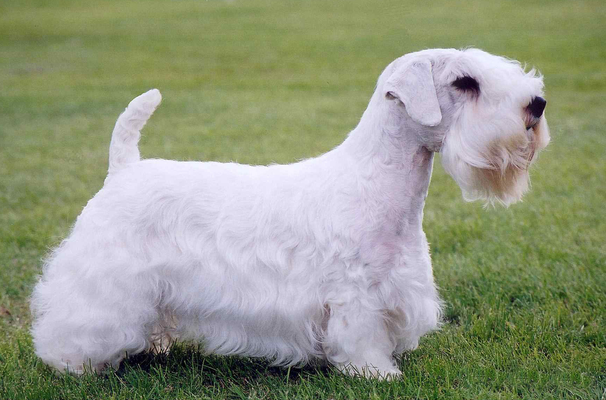 Sealyham Terrier: origins, physical characteristics and personality