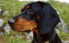 Segugio Austriaco nero focato, carattere e prezzo - Razze cani