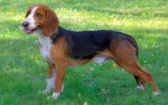 Segugio tedesco, carattere e prezzo - Razze cani