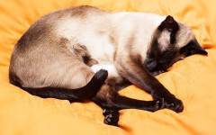 Thai cat: origins, physical characteristics and Personality