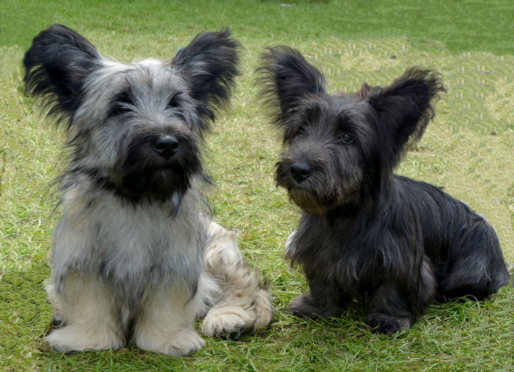 Skye Terrier: Origins, Physical Characteristics, and Personality
