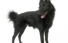 Norsk Elghund Nero, carattere e prezzo - Razze cani