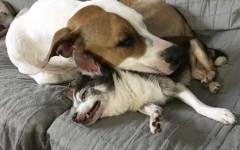 Amicizia tra Pitbull e Chihuahua, storia di amore incondizionato