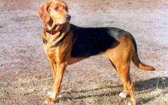 Segugio polacco, carattere e prezzo - Razze cani