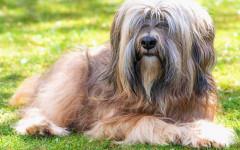 Tibetan Terrier, carattere e prezzo - Razze cani