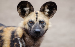 African wild dog: characteristics, behavior, and habitat