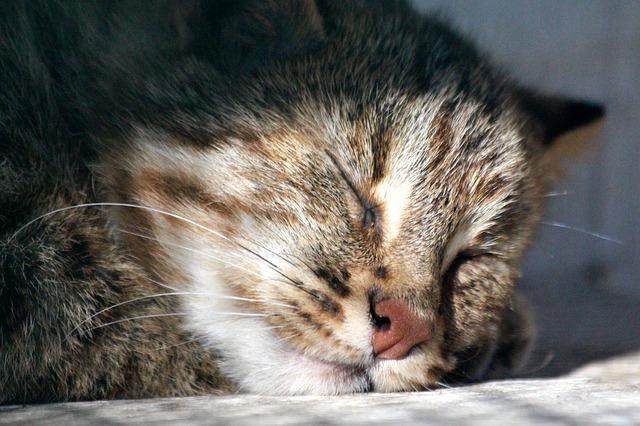 Leopard cat: distribution, ecology and behavior