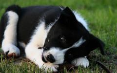 Perro oso: el buen perro de osos de Carelia