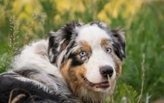 Ciclosporina per cani per uso oftalmico