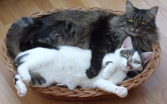 Fluffy cat breed: the top 5 fluffy cat breed