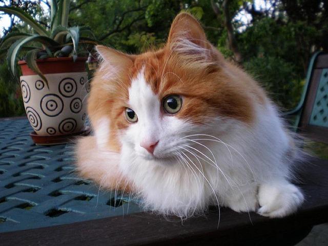 Gato angora: un felino de Asia Menor