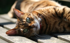 Gatos bengalíes: una raza noble y amigable