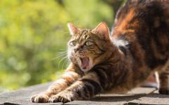 Gatto sbadiglia spesso: perché?