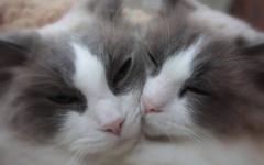 Compagno per il gatto: quali sono i vantaggi?
