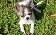 Cani mangiano erba: perché lo fanno?