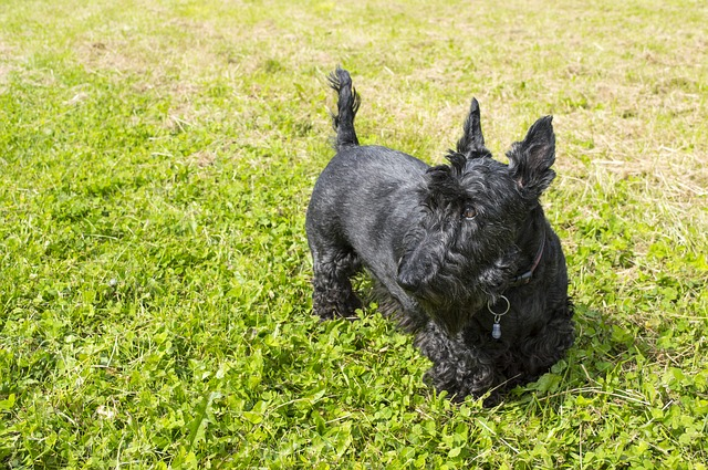 Scottish Terrier: origins, characteristics and personality