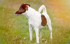 Proteinuria nel cane: monitoraggio e terapia