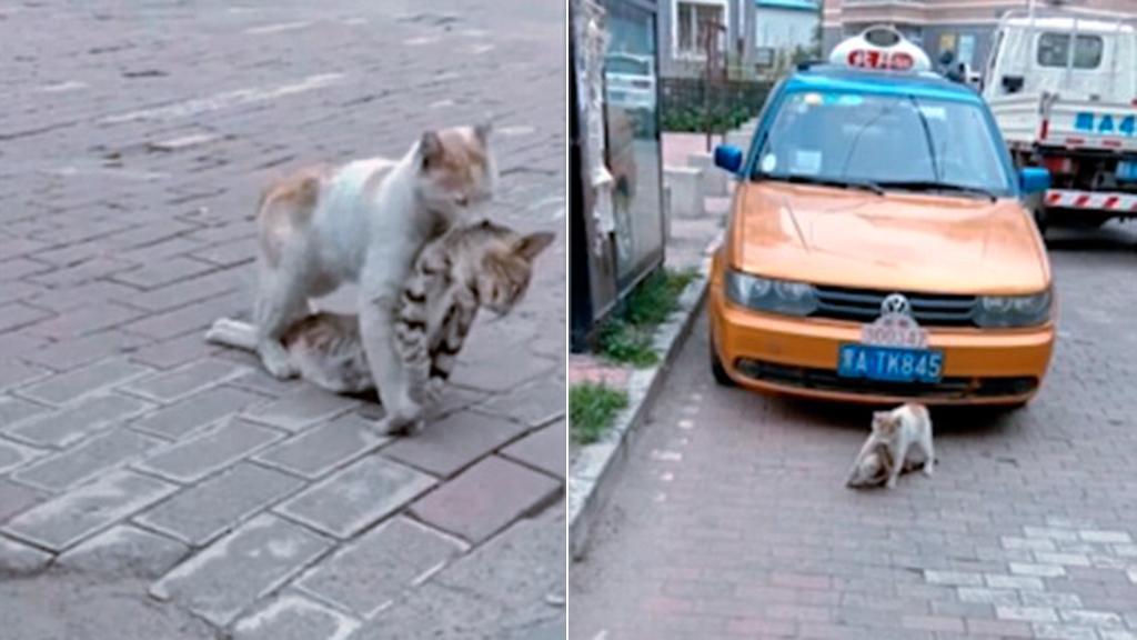 Gatto trascina corpo dell'amico senza vita, storia commovente