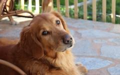 Golden perro: todo sobre el Golden retriever