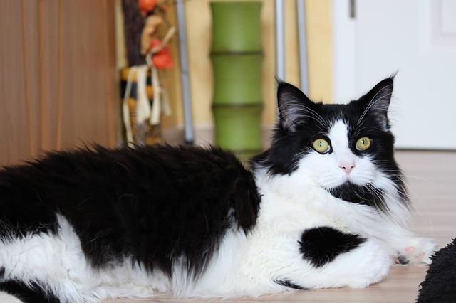 Pelaje gato: misterios felinos muy interesantes