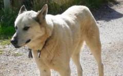 Cane torna a casa e percorre 60 km: la storia di Nocciolino