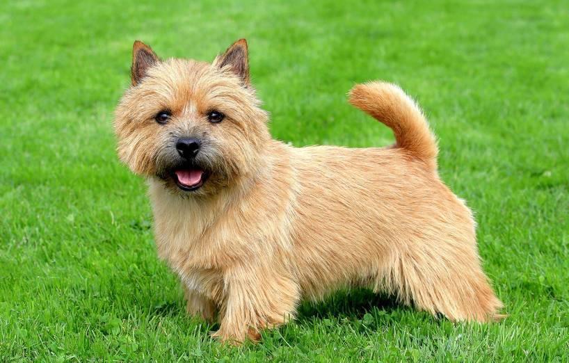 Norwich Terrier, carattere e prezzo - Razze cani